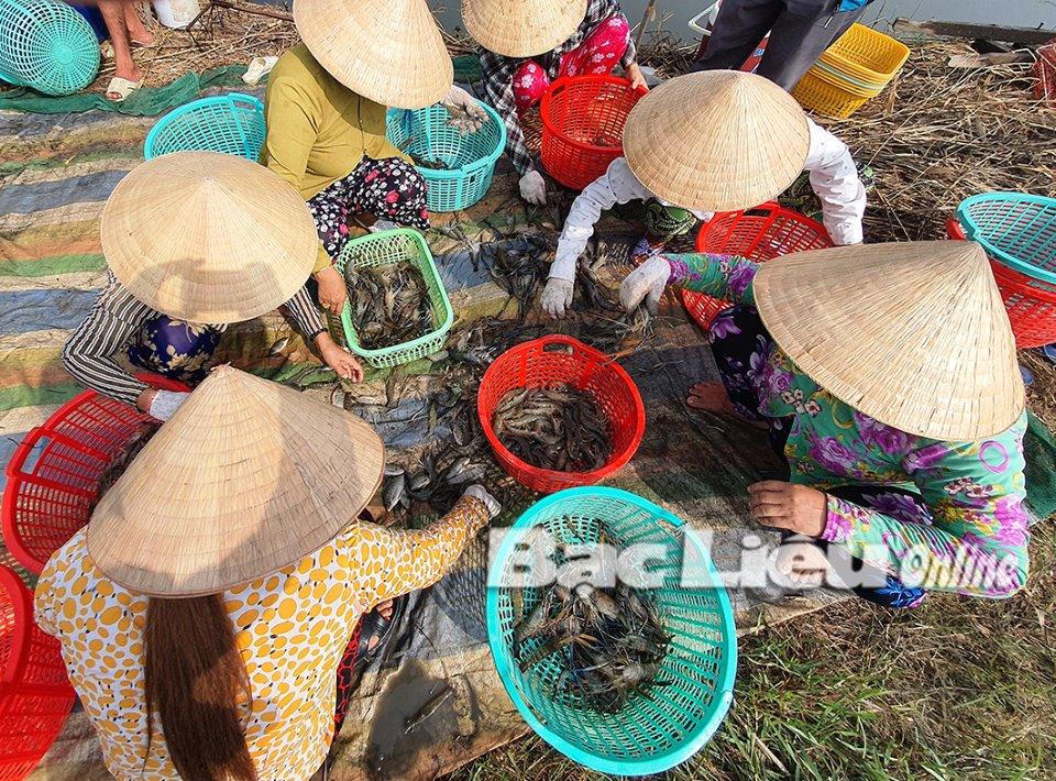 Nông dân huyện Hồng Dân thu hoạch tôm càng xanh. Ảnh: C.L
